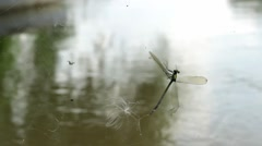 Dragonfly caught in spiderweb. Dragonflies entangled, cathcing, cobweb, river. Stock Footage