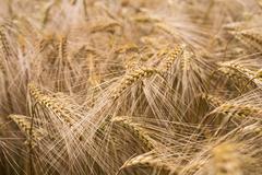 Ripe barley (lat. Hordeum) - stock photo