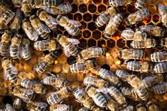 Macro shot of bees swarming on a honeycomb Stock Photos