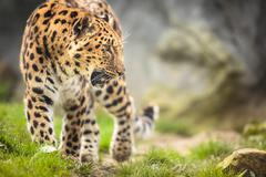 Amur Leopard (Panthera pardus orientalis) - stock photo