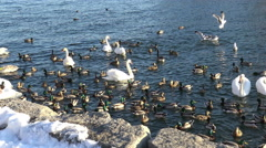 Waterbirds of Lake Ontario in winter, 4k wildlife footage Stock Footage