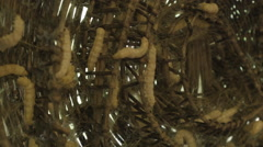 Silkworms aka Bombyx mori closeup at a silk farm in Siem Reap Cambodia Stock Footage