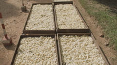Trays of silkworm cocoons at a silk farm in Siem Reap Cambodia Stock Footage
