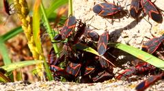 Boxelder Bugs (Boisea trivittata) Illinois Stock Footage