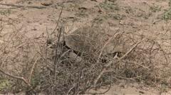 Afghan Tortoise - stock footage