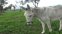 A white donkey in the field. (2) Stock Footage