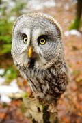 Great grey owl in the winter forest Stock Photos