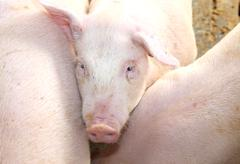 Melancholy look of the pig in the pigsty of the farm Stock Photos