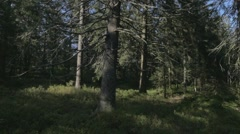 Within the Woods. Trees in Black Forest. Stock Footage