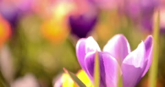 Moving painting style animation of a brightly coloured field of croci Stock Footage
