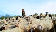 Shepherd is run and shot from guns to defend his flock of sheep from wolves - stock footage