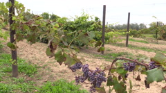 Grape plantation branch entwine on stake Stock Footage