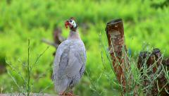 Large guinea fowls standing on a fence in the backyard Stock Footage
