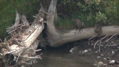 Raccoons, ( Procyon lotor), foraging in water Stock Footage