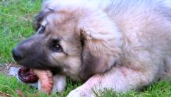 Small mountain dog bites horn of a ram Stock Footage
