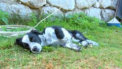 Small black dog resting on the grass in the backyard Stock Footage
