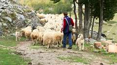 Young shepherd carrying a rifle and leads the flock to the mountain pasture - stock footage
