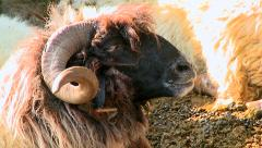 Head of a domestic aries with large horns - stock footage