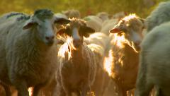 Large number of sheep walk on the dirt road Stock Footage