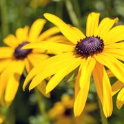 Flowers of the Echinacea or coneflower. - stock photo