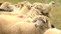 Sheep in the herd walking on the meadow Stock Footage