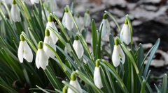 bed of snowdrops,real time,panning, - stock footage