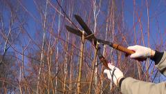 cut trim prune decorative willow bush  branch in spring farm garden - stock footage