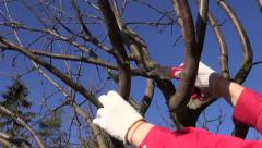 farmer cut prune apple tree branch in spring  with handsaw - stock footage