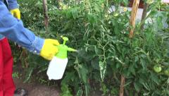 gardener  spray with chemicals tomato plants in greenhouse - stock footage