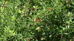 Hawkes bay apple orchard, North Island, New Zealand Stock Footage