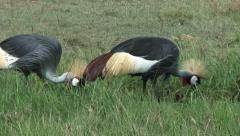 Grey Crowned Crane foraging (Balearica regulorum) Stock Footage