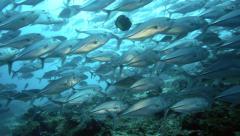 Large school of bigeye trevally underwater Stock Footage