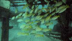 School of bluestripe snapper (Lutjanus kasmira) under artificial reef Stock Footage