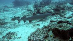 Whitetip reef shark swimming underwater Stock Footage