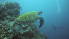 Green sea turtle underwater at Sipadan Island Stock Footage