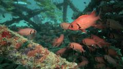 Scuba divers explore an artificial reef inhabited by schools of fish Stock Footage