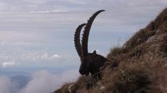 Capra Ibex - PalormaFilms 16.03.2015 13-36 Stock Footage