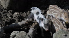 Group of wild piglets runs Stock Footage