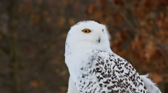 Snowy Owl turning head Stock Footage