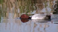 Male Common Pochard (Aythya ferina) Stock Footage