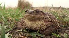 Toad (Bufo Bufo) Stock Footage