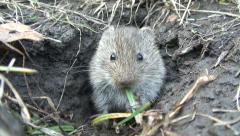 Common Vole (Microtus arvalis) - stock footage