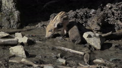 Wild piglet drinks water from a stream Stock Footage