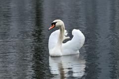 White mute swan is swimming on the Lake (Cygnus olor) Stock Photos