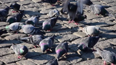 City birds, pigeons are walking, flying feeding, eating on cobblestone  Stock Footage
