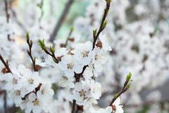 Blossoming tree branch with white flowers - stock photo