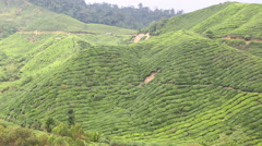 Beautiful landscape tea plantation in Cameron Highlands, Malaysia - stock footage