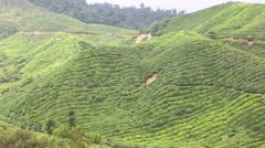 Beautiful landscape tea plantation in Cameron Highlands, Malaysia Stock Footage