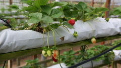 Growing strawberries on a farm in Cameron Highlands, Malaysia. Stock Footage