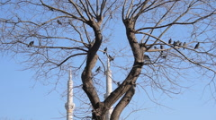 City birds, pigeons are settle on a bare tree Stock Footage